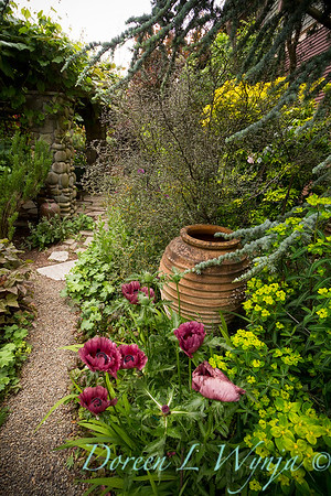 Papaver Patty's Plum pathway_017