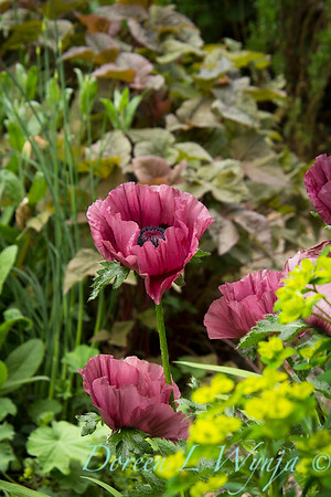 Papaver orientale Patty's Plum_001