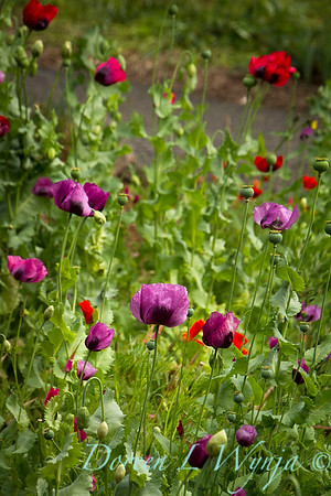Papaver somniferum 'Dark Plum' patch_7131