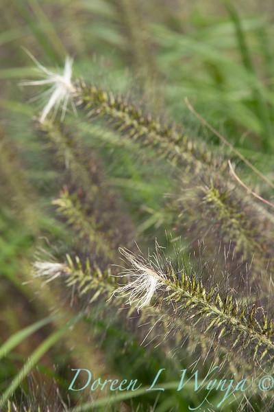 Pennisetum alopecuroides 'Moudry'_2087