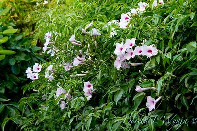 Pandorea jasminoides Rosea_016