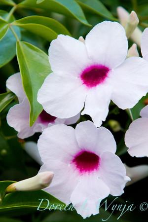 Pandorea jasminoides Rosea_018