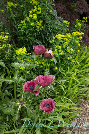 Papaver orientale Patty's Plum_004