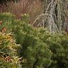 Pinus mugo var  pumilio - Nandina domestica 'Gulf Stream' - Berberis thunbergii 'Helmond Pillar' - winter interest_1318