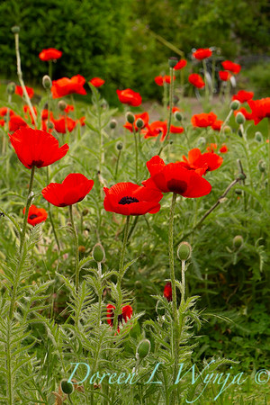 Papaver somniferum red poppy_019