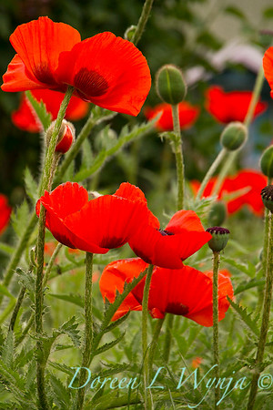 Papaver somniferum red poppy_032