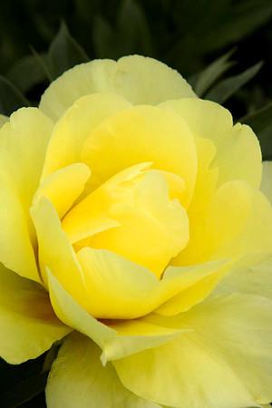 4432 Paeonia Sequestered Sunshine_001_72dpi