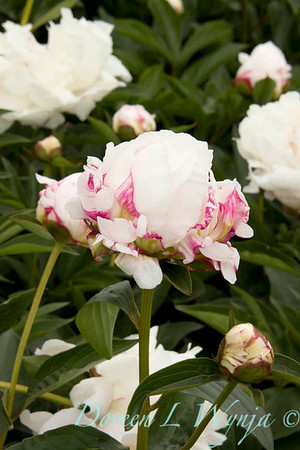 6376 Paeonia x Shirley Temple_002