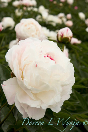 6376 Paeonia x Shirley Temple_008
