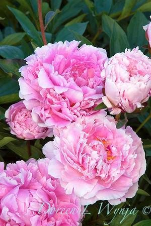 6363 Paeonia Sarah Bernhardt_012