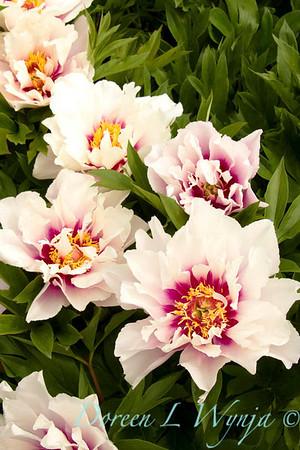 3909 Paeonia Cora Louise_002