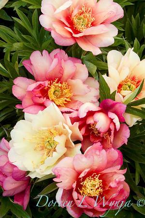 3913 Paeonia Julia Rose_001