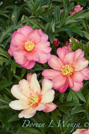 3913 Peony Julia Rose_001