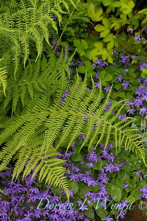 Athyrium lady fern - Campanula poscharskyana_6684