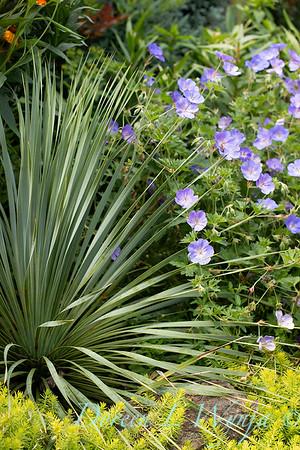 Yucca rostrata - Geranium x 'Rozanne' landscape_5114