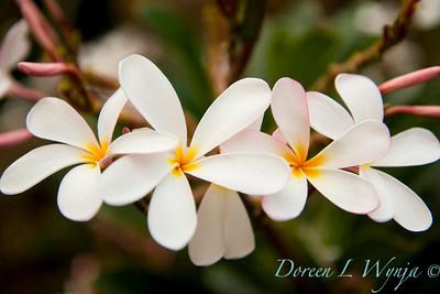 Plumeria obtusa Dwarf Singapore Pink_027