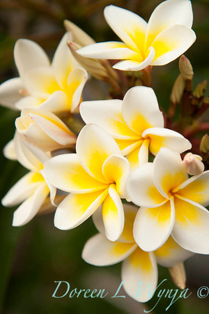 Plumeria rubra Celadine_017