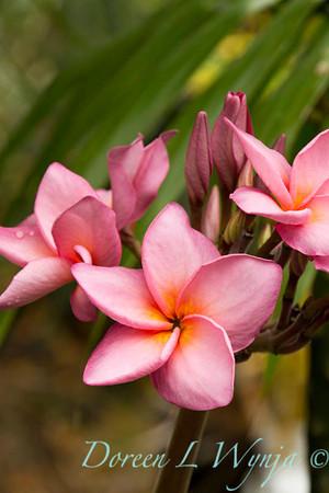 Plumeria Palms in Kona_051
