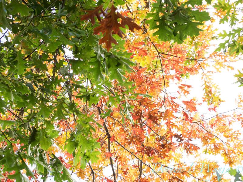 Quercus rubra_0161