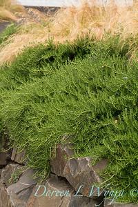 Rosmarinus officinalis 'Prostratus' - Nassella tenuissima - Fuchsia magellanica - retaining wall_1962