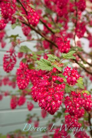 Ribes sanguineum Kind Edward VII_051