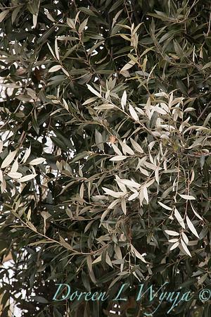 Quercus hypoleucoides_1246