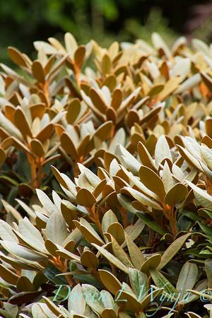 Rhododendron Cinnamon Bear_5846