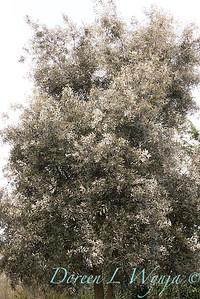 Quercus hypoleucoides_1236