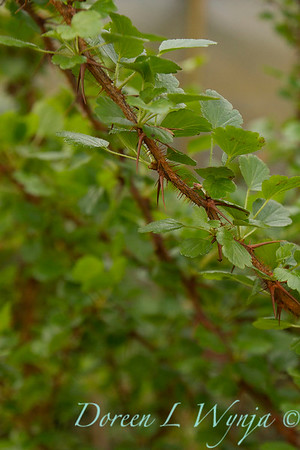 Ribes speciosum_011