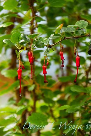Ribes speciosum_014
