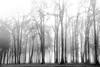 Oaks in the fog_7409