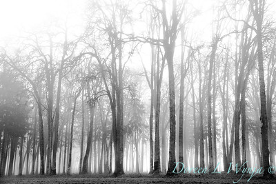 Oaks in the fog_7409