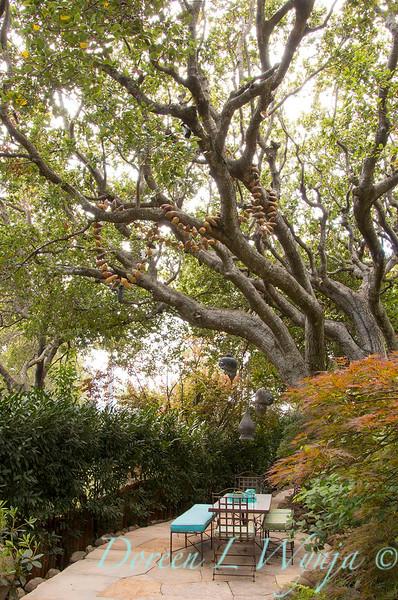 Quercus agrifolia - Prunus laurocerasus 'Schipkaensis' hedge - outdooor dining with acorn mala_0626