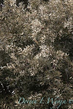 Quercus hypoleucoides_1240