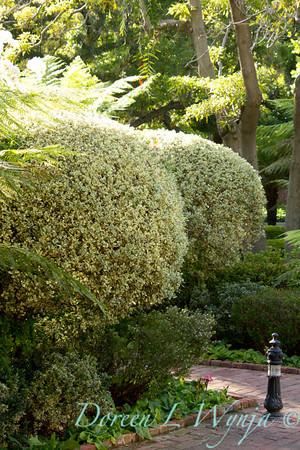 Rhamnus alaternus Variegata_003