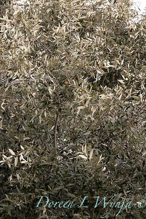 Quercus hypoleucoides_1250