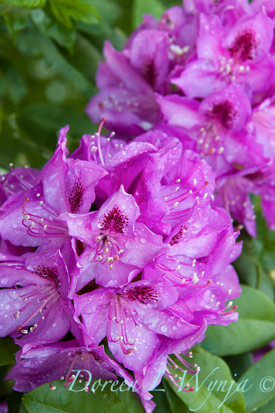 Rhododendron 'Florence Parks'_002M