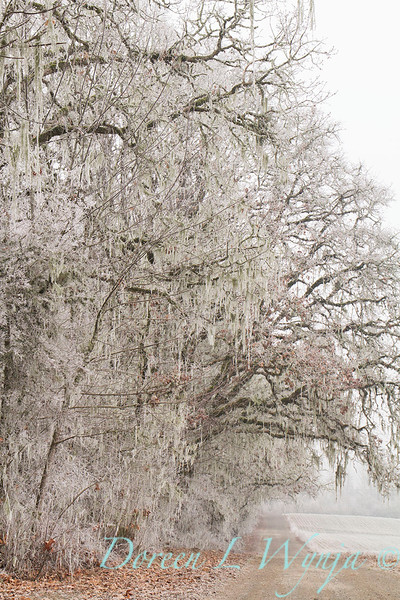 Winter frosted Quercus - oak trees_9535