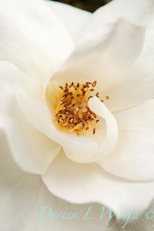 Rosa White Rose_018