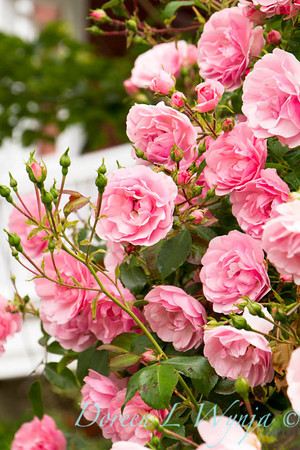 Rosa The Fairy_007
