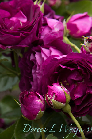 Rosa 'Twilight Zone'_2804