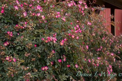 Rosa glauca_041