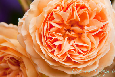 Rosa Princess Margareta_001
