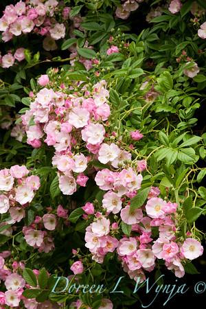 Rosa single pink climber_004