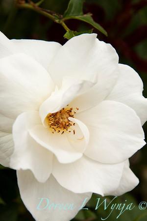 Rosa White Rose_015