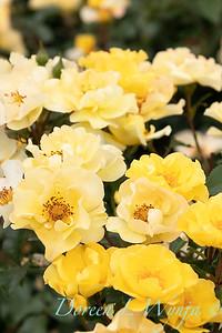 42229 Rosa 08-0109-014 yellow_2082