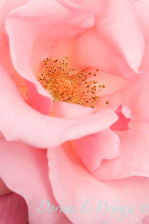 Rosa Dream Pink Tea Rose_003