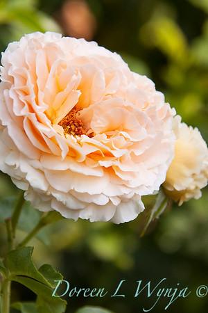 Rosa Polka_005