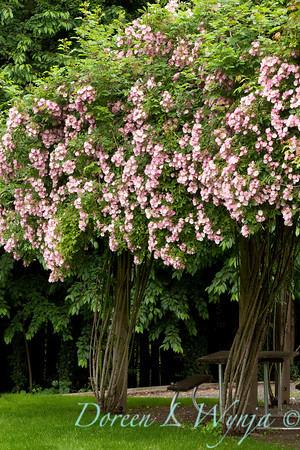 Rosa single pink climber_001