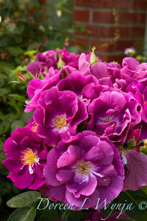 Rosa Rhapsody in Blue_005